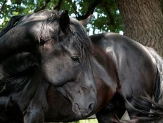 Horse Breed: Nonius - Horse Breeds Pictures - Globetrotting horse riding holidays