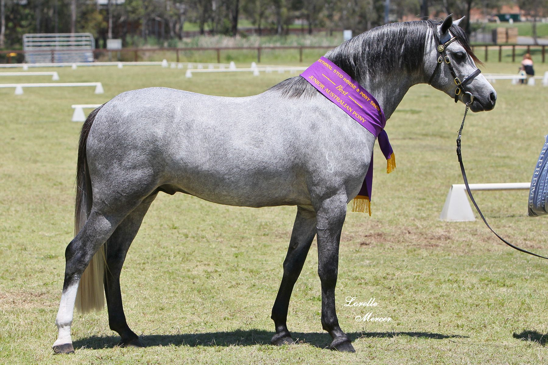 Horse Breed: Australian Pony - Lorelle Mercer / Koora-Lyn Australian Ponies - Globetrotting horse riding holidays