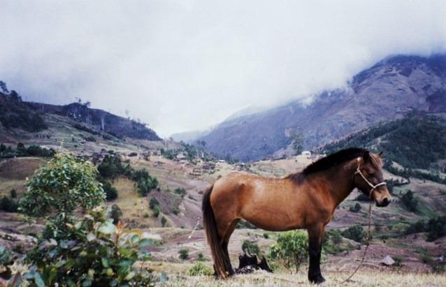 Horse Breed: Timor Pony - Little Darwin - Globetrotting horse riding holidays