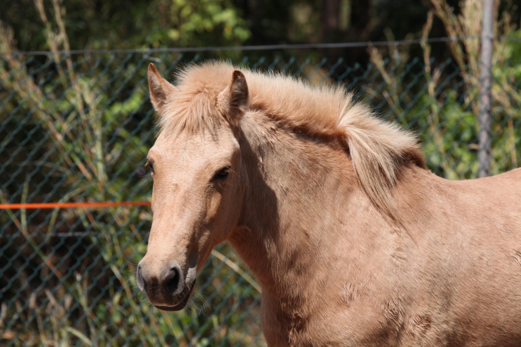 Horse Breed: Timor Pony - photo Michael J Barritt - Globetrotting horse riding holidays