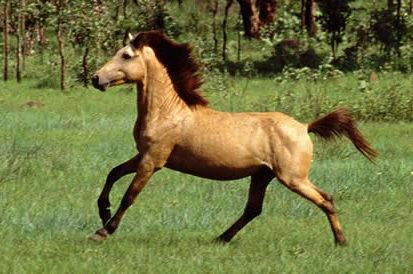 Horse Breed: Timor Pony - AboutPets - Globetrotting horse riding holidays