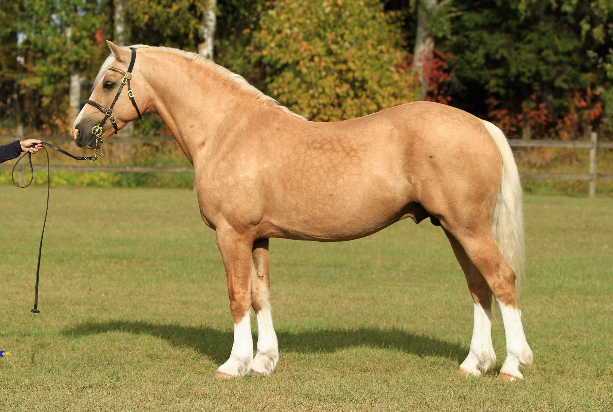 Horse Breed: Welsh Pony & Cob - Pernilla Hägg - Globetrotting horse riding holidays