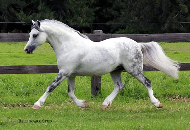 Horse Breed: Welsh Pony and Cob - Bellingara Stud - Globetrotting horse riding holidays