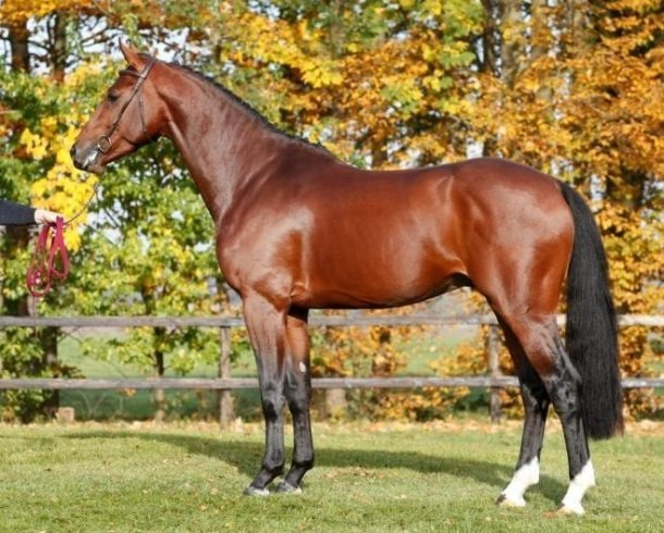Horse Breed: Dutch Warmblood - Team Nijhof - Globetrotting horse riding holidays