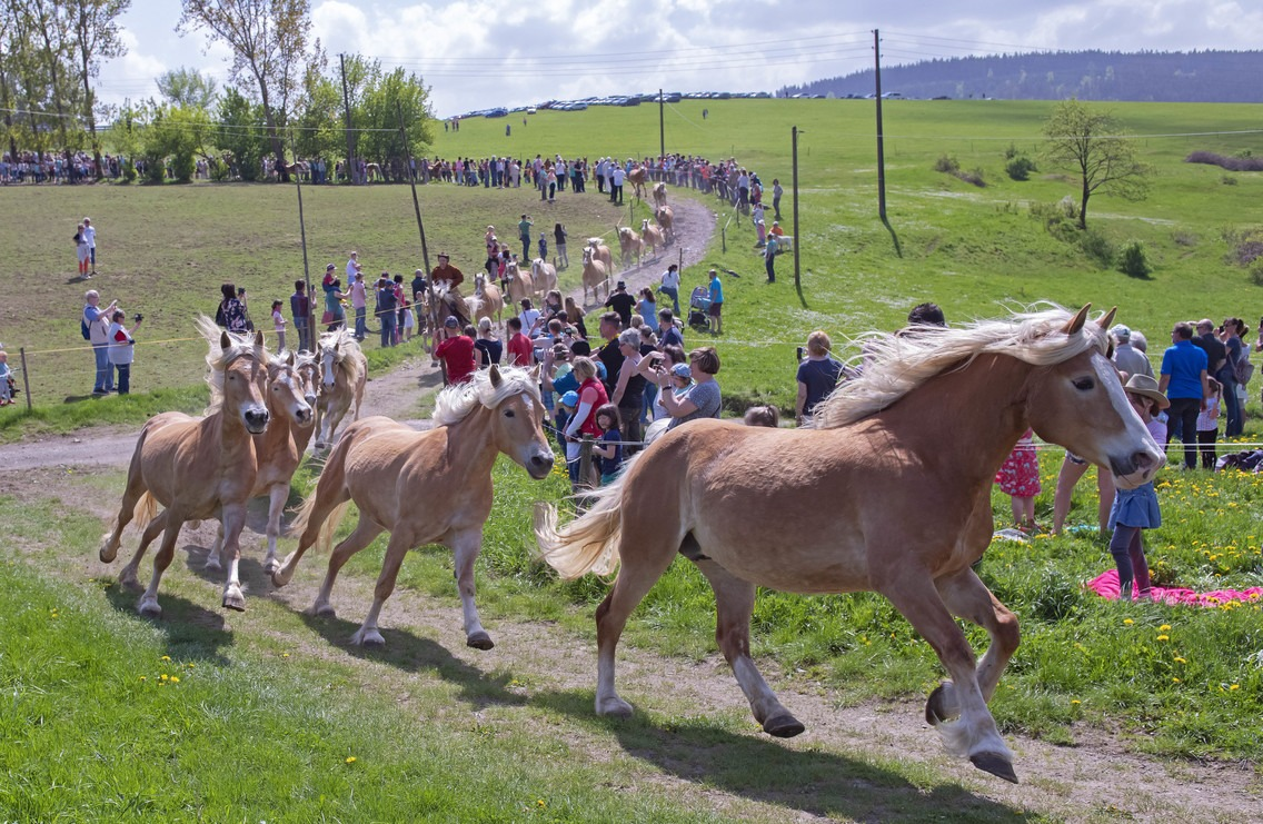 The Haflinger Horse Run - AP Photo / Jens Meyer - Globetrotting horse riding holidays