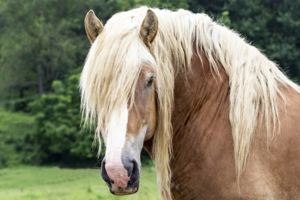 Horse Breed: Belgian Draught Horse - Globetrotting horse riding holidays