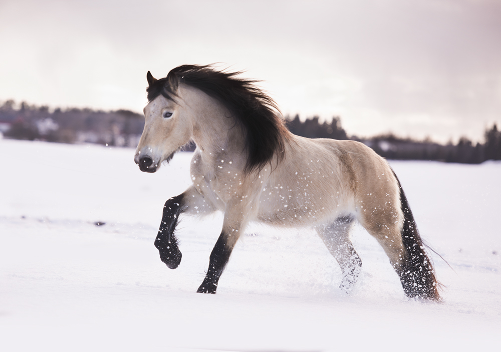 Horse breed: Dole - photo by Matilde Brandt - Globetrotting horse riding holidays