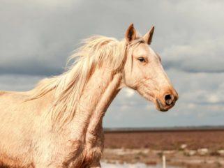 Horse Breed: Marismeño - photo by David Rengel - Globetrotting horse riding holidays