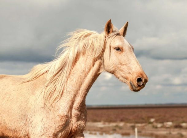 Horse Breed: Marismeño - photo by David Rengel - Globetrotting horse riding holidays