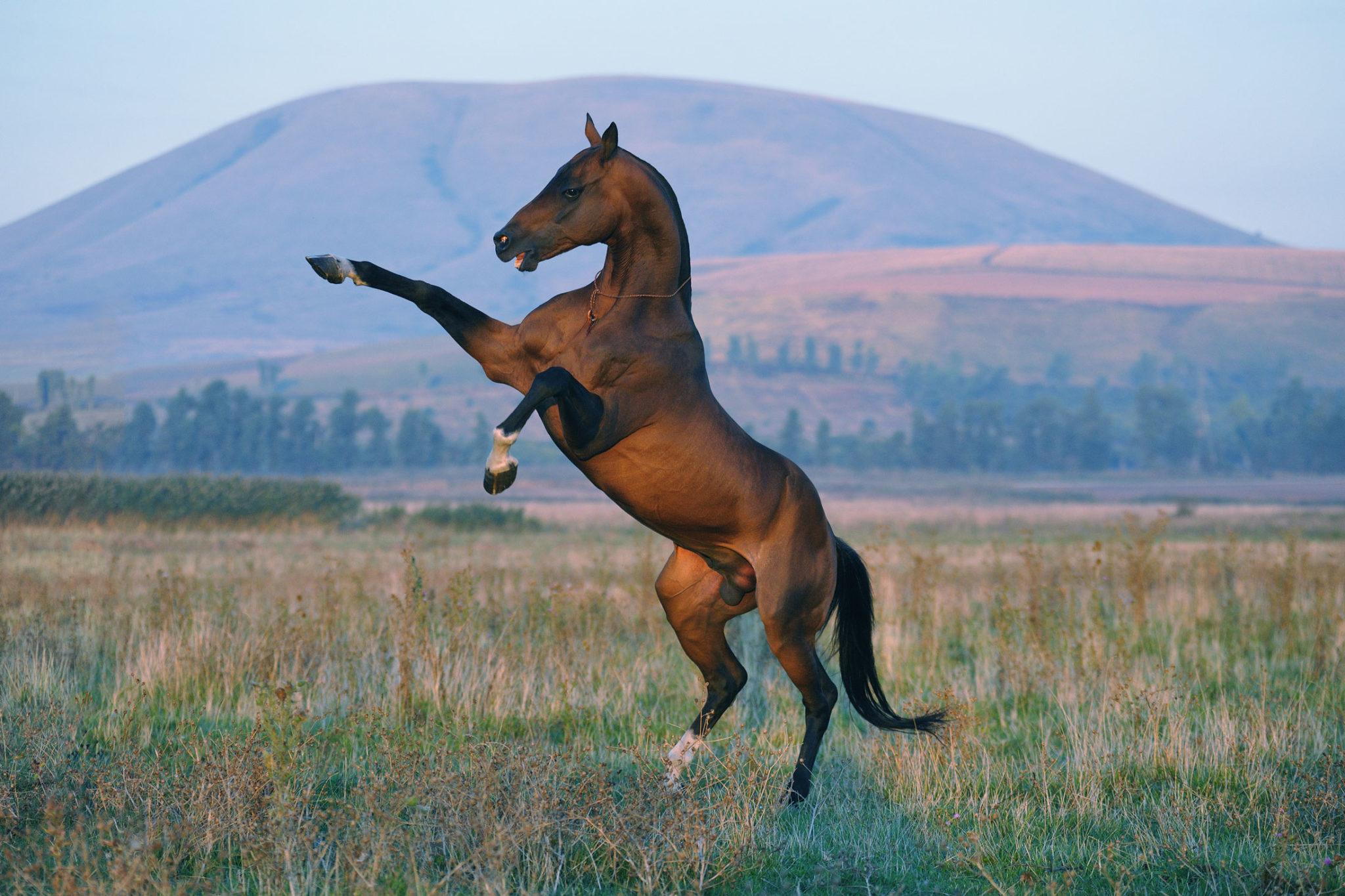 Horse Breed: Akhal-Teke - image via FEI - Globetrotting horse riding holidays