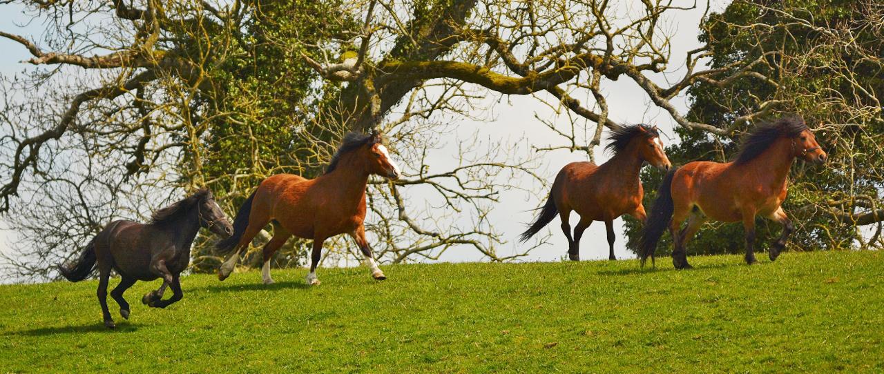 Horse Breed: Kerry Bog Pony - Globetrotting horse riding holidays