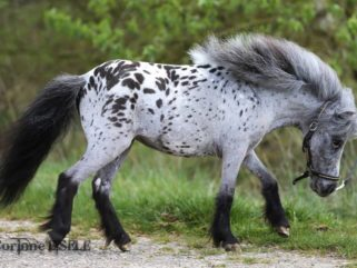 Horse Breed: Falabella Miniature Horse - photo by Corinne Eisele - Globetrotting horse riding holidays