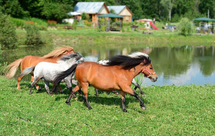 Horse Breed: Falabella Miniature Horse - photo via Olga_Phoenix/Shutterstock - Globetrotting horse riding holidays