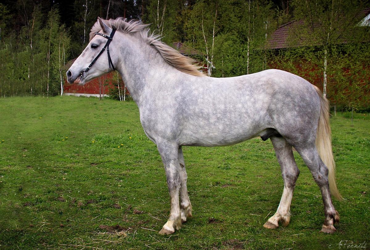 Horse Breed: Estonian Native Horse - image via Eesti Hobune - Globetrotting horse riding holidays