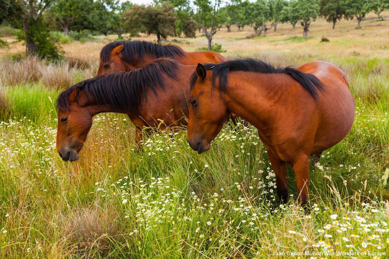 Horse Breed: Retuerta - image via Juan Carlos Muños Robredo/Rewilding Europe - Globetrotting horse riding holidays