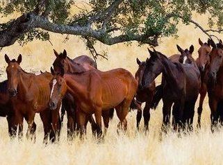 Horse Breed: Retuerta - image via Juan Carlos Muños Robredo/Rewilding Europe - Globetrotting horse riding holidays