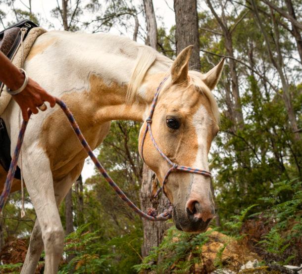 Globetrotting Guest Horse: Opal - Tassie Tiger Trail, Australia - Globetrotting horse riding holidays