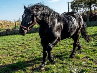 Horse Breed: Međimurje - Globetrotting horse riding holidays