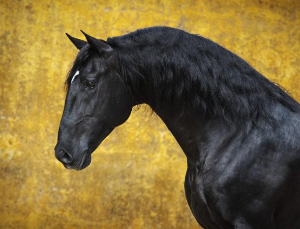 Horse Breed: Lusitano - image via Lusitano World - Globetrotting horse riding holidays