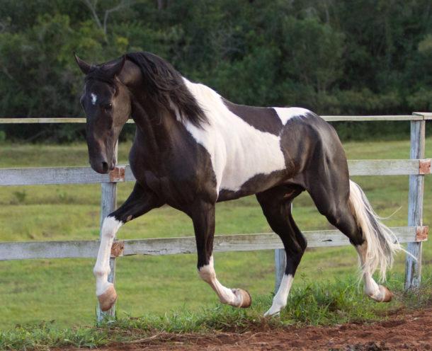 Horse Breed: Campolina - image via LyraWhite / DeviantArt - Globetrotting horse riding holidays
