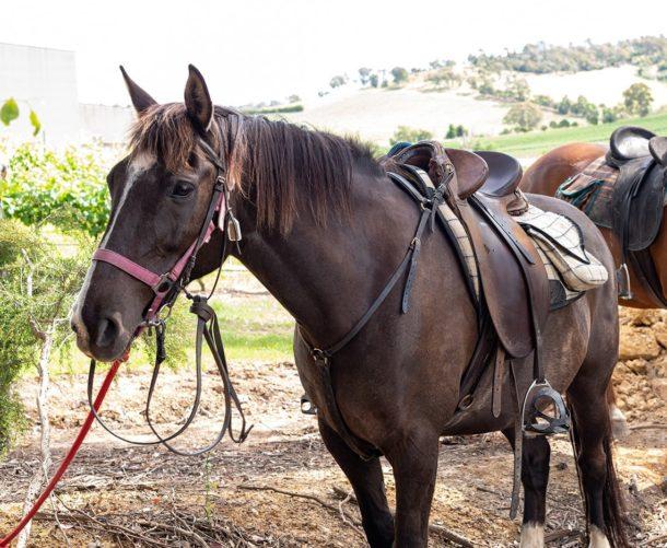 Globetrotting Guide Horse: Fudge - Yarra Valley Ride, Victoria, Australia - Globetrotting horse riding holidays