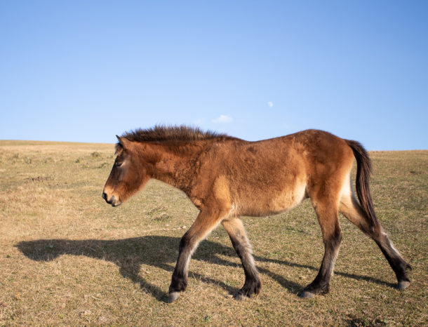 Horse Breed: Tokara - Globetrotting horse riding holidays
