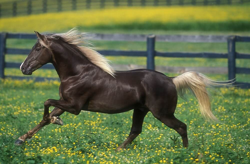 Horse Breed: Rocky Mountain Horse - image via Pegasus Magazine - Globetrotting horse riding holidays