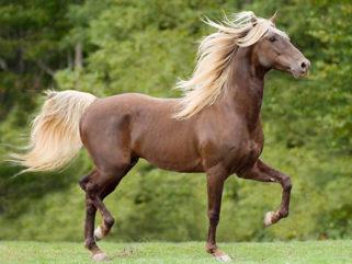 Horse Breed: Rocky Mountain Horse - Globetrotting horse riding holidays