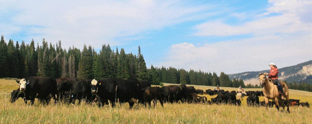 Big Horn Cattle Drive, USA - Globetrotting horse riding holidays