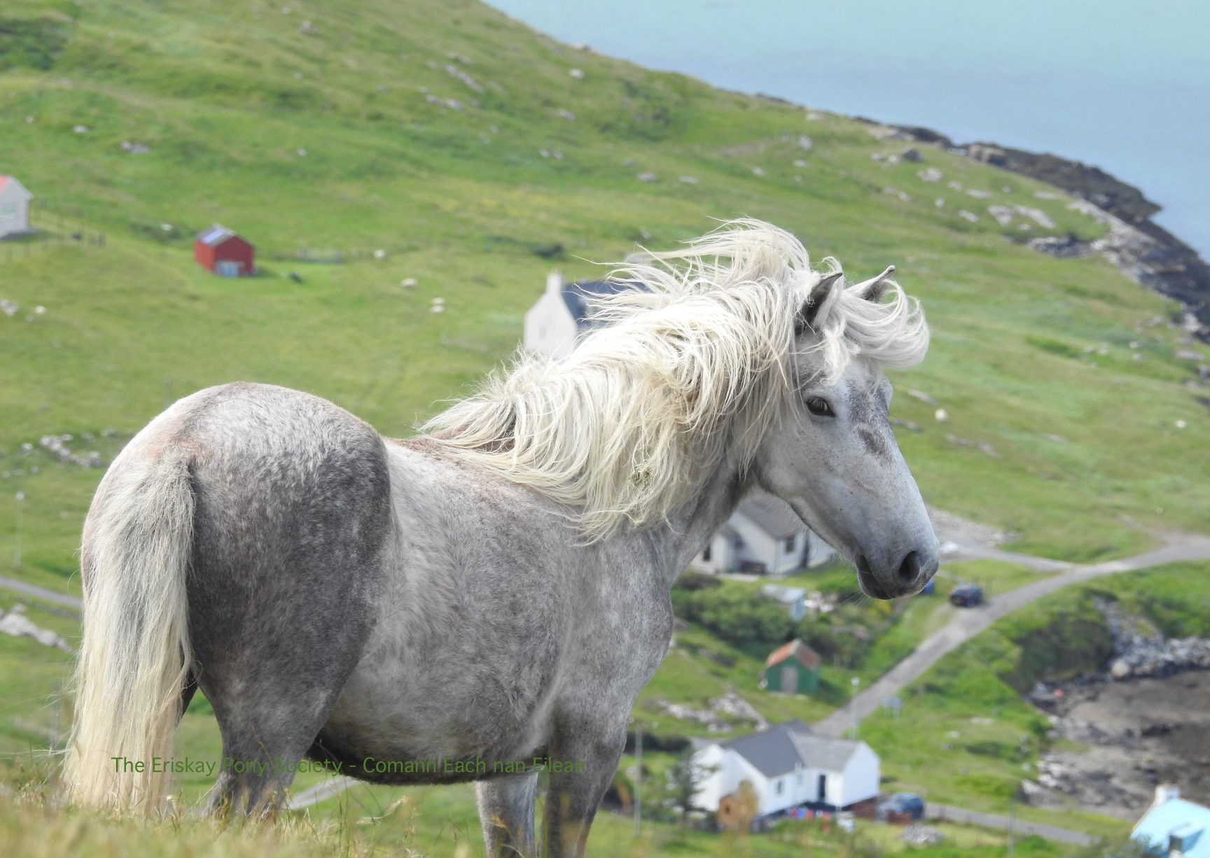 Horse Breed: Eriskay Pony - image via The Eriskay Pony Society - Comann Each nan Eilean - Globetrotting horse riding holidays