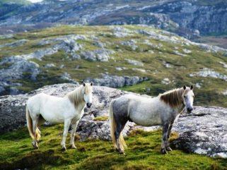 Horse Breed: Eriskay Pony - image via Horse Breeds Pictures - Globetrotting horse riding holidays