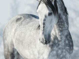 Horse Breed: Andalusian - Globetrotting horse riding holidays