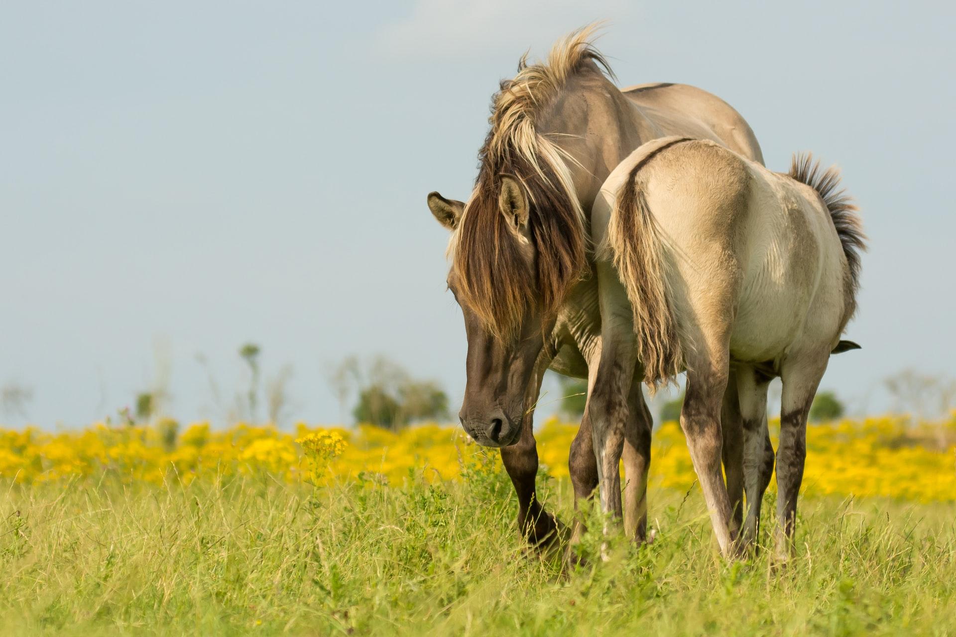 Horse Breed: Konik - photo by Vincent Zalinge on Upsplash - Globetrotting horse riding holidays