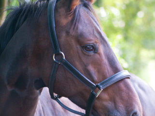 Horse Breed: Hanoverian - photo by Jacques Bopp on Unsplash - Globetrotting horse riding holidays