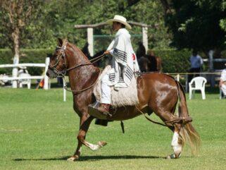 Horse Breed: Peruvian Paso - photo by Renzo Gaspary on Unsplash - Globetrotting horse riding holidays