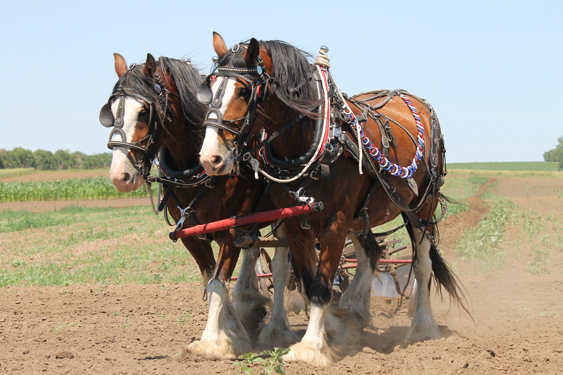 Horse Breed: Clydesdale - photo by Jessica Rockeman on Pixabay - Globetrotting horse riding holidays