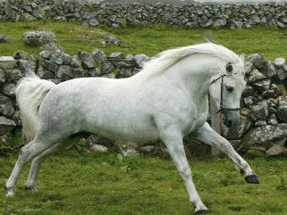 Horse Breed: Connemara - photo by Sophiesl via Wikimedia - Globetrotting horse riding holidays