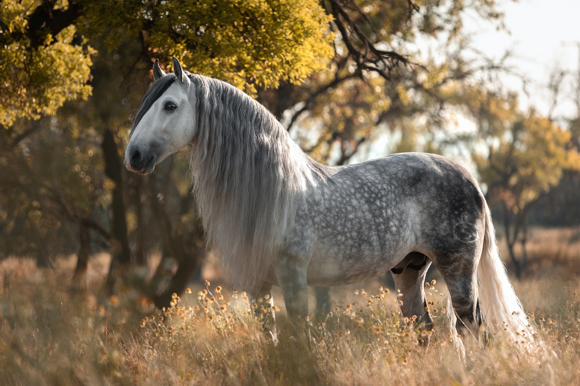 Horse Breed: Andalusian - photo by Missi Köpf on Pexels - Globetrotting horse riding holidays