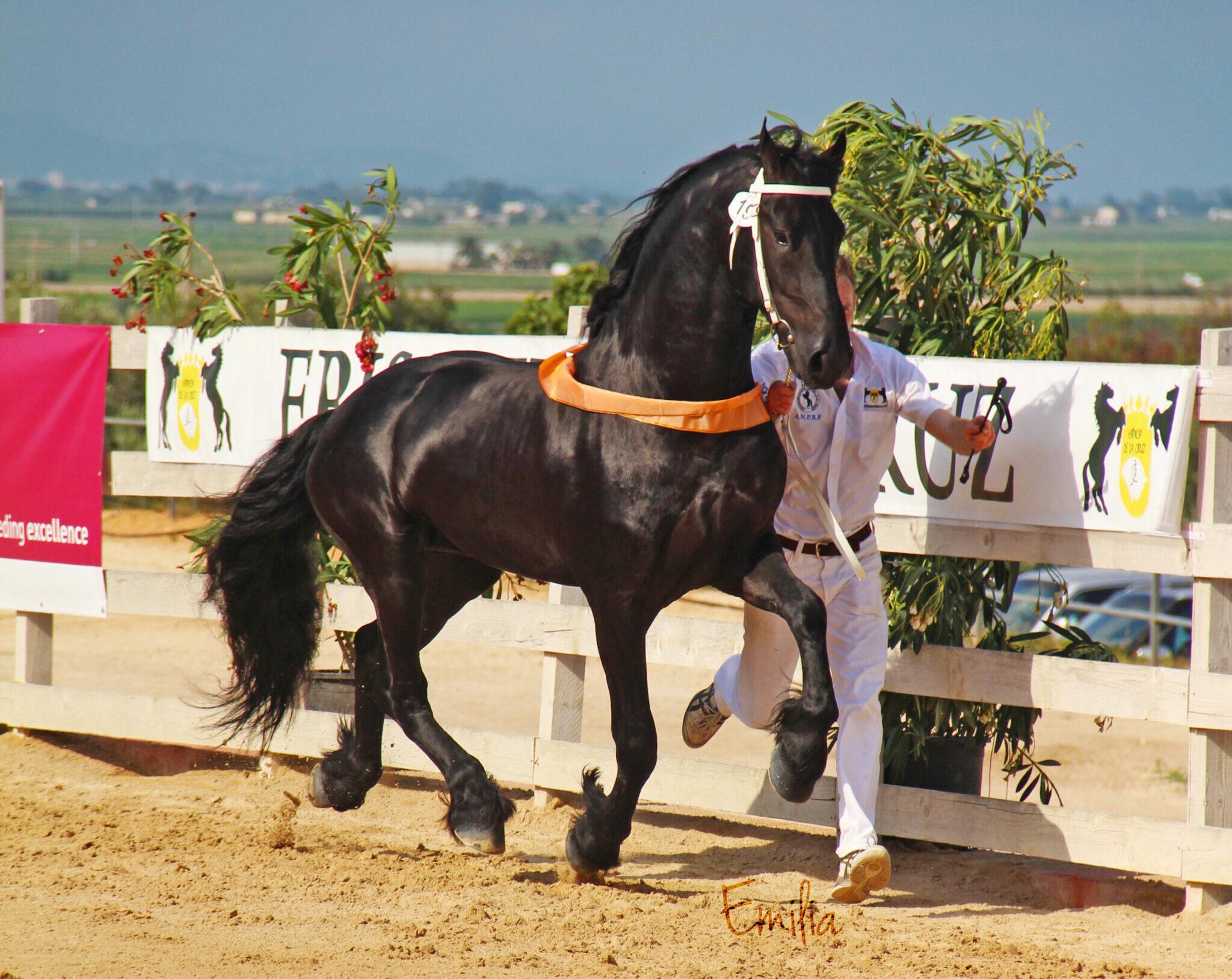 Horse Breed: Friesian - photo by Emiliayalag10 on Wikimedia Commons - Globetrotting horse riding holidays