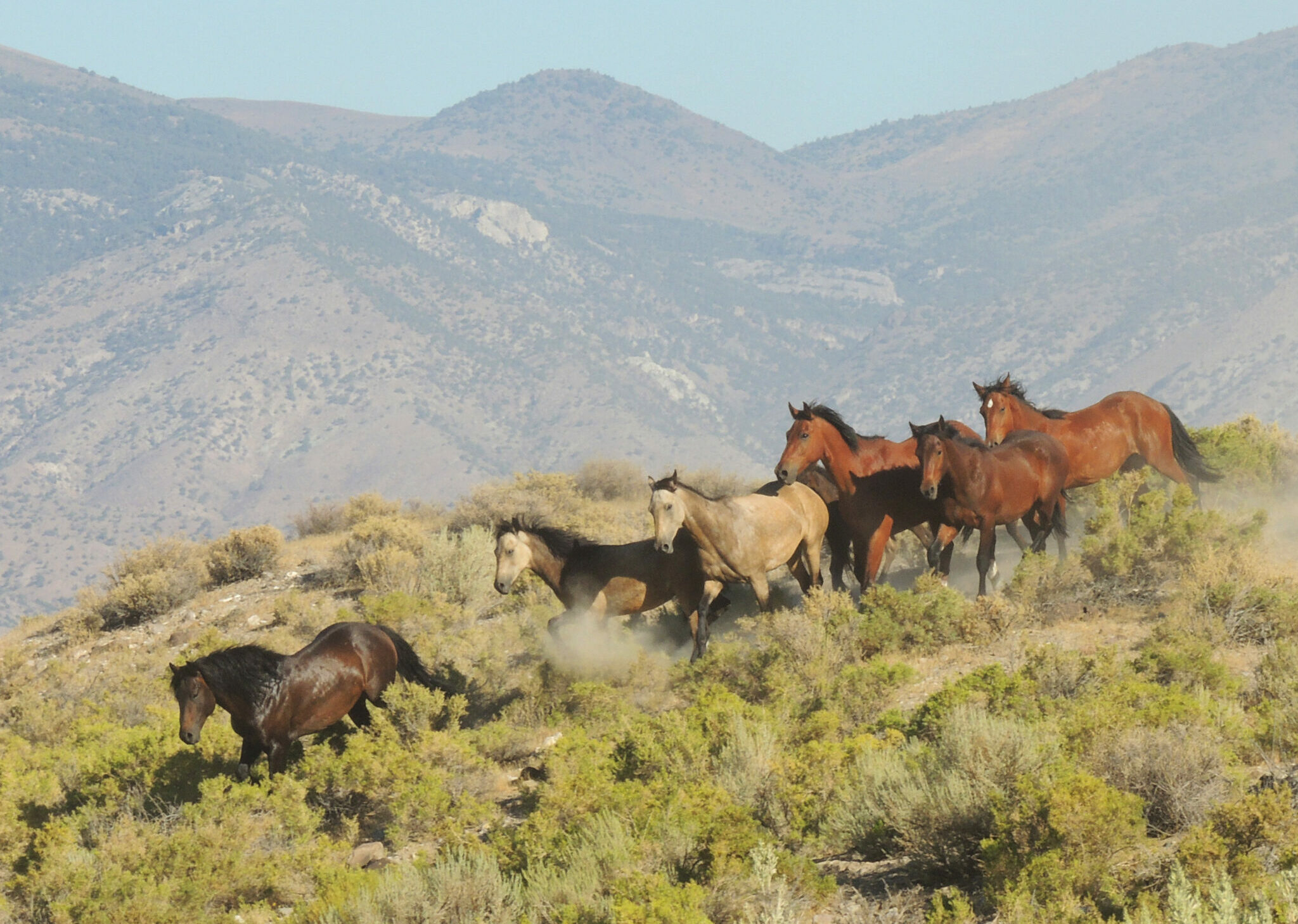Horse Breed: Mustang - photo by BLM Nevada on Flickr - Globetrotting horse riding holidays