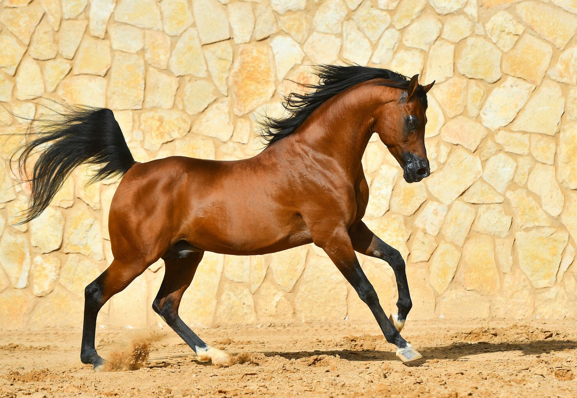 Horse Breed: Arabian - photo via arthorse/Shutterstock.com - Globetrotting horse riding holidays