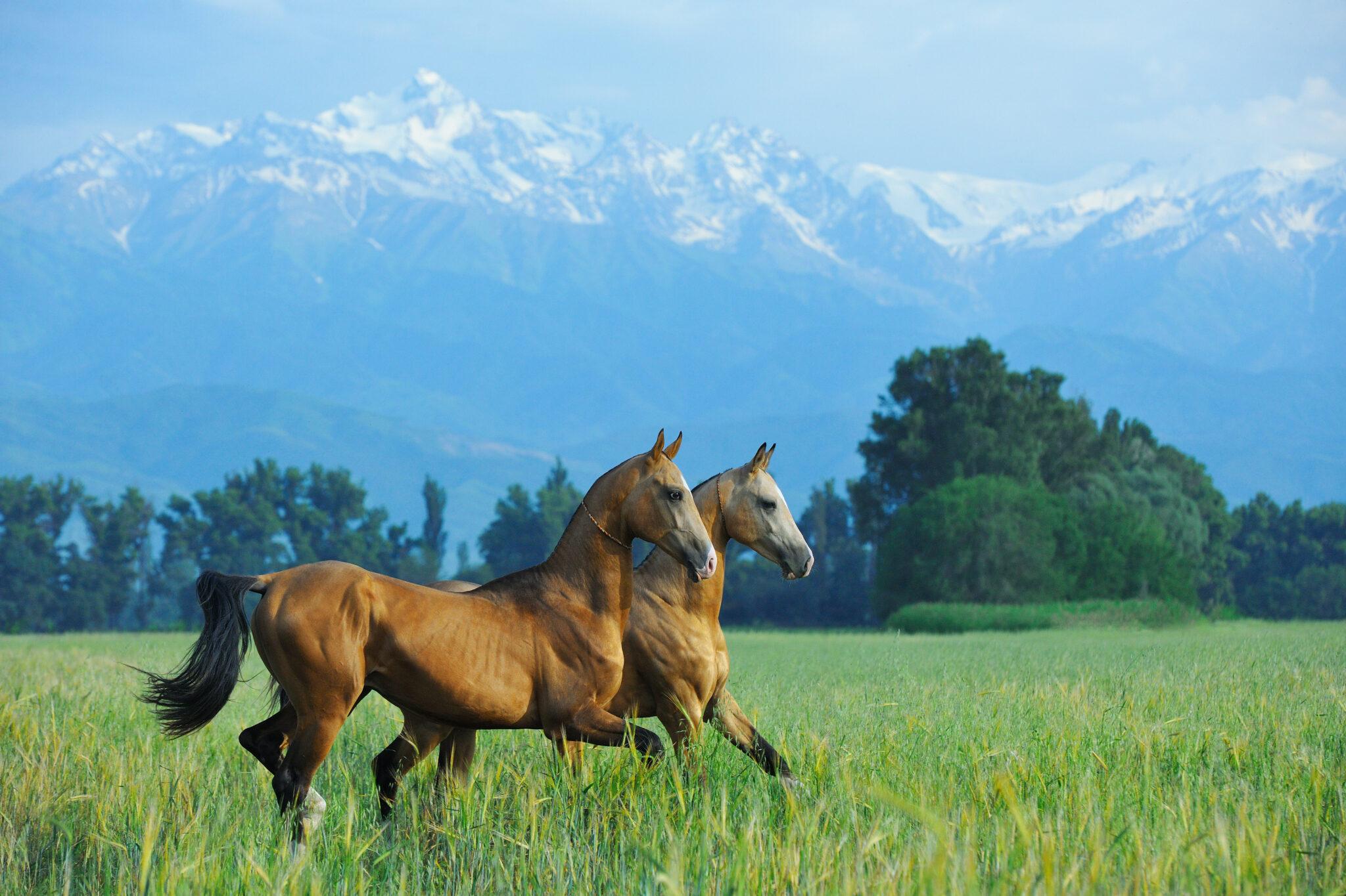 Horse Breed: Akhal-Teke - photo via arthorse/Shutterstock.com - Globetrotting horse riding holidays