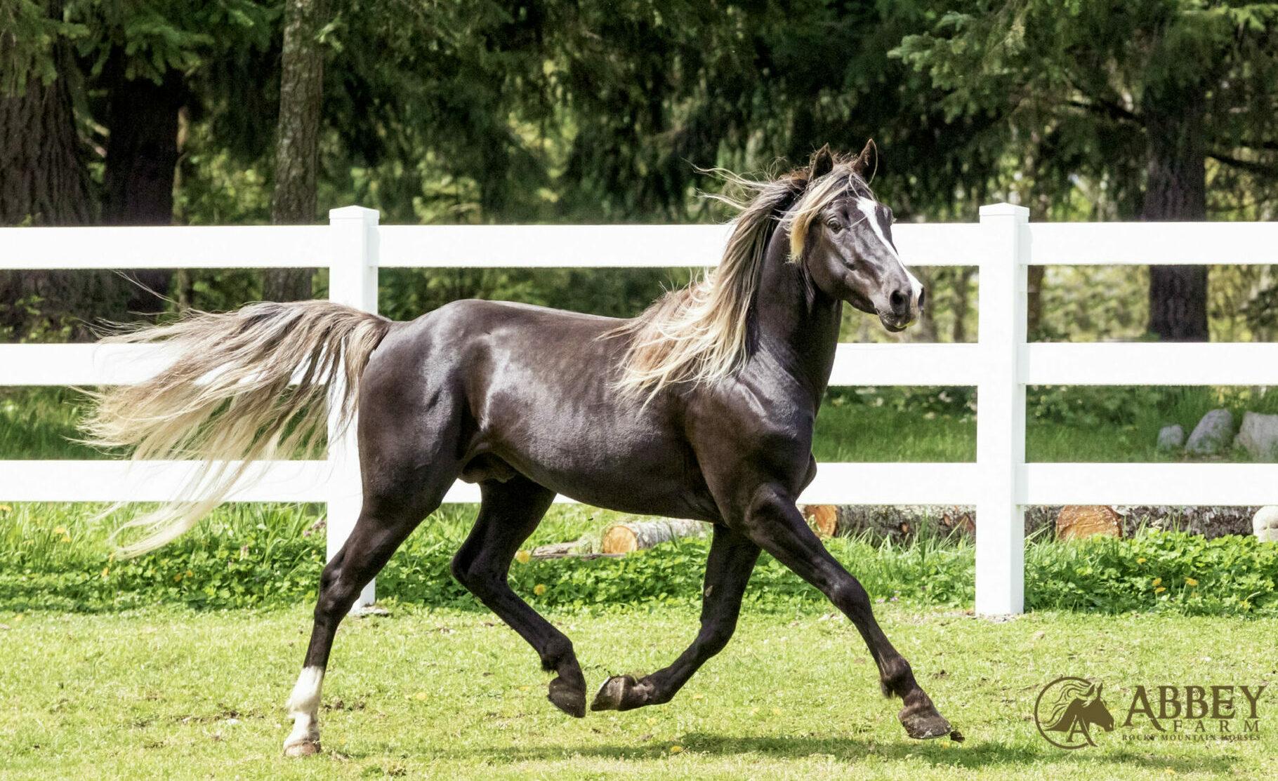 Horse Breed: Rocky Mountain Horse - photo by Abbey Rocky Mountain Horses - Globetrotting horse riding holidays
