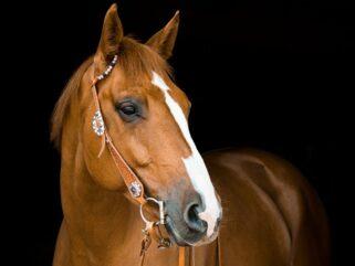 Horse Breed: Quarter Horse - photo by Rebecca Scholz on Pixabay - Globetrotting horse riding holidays