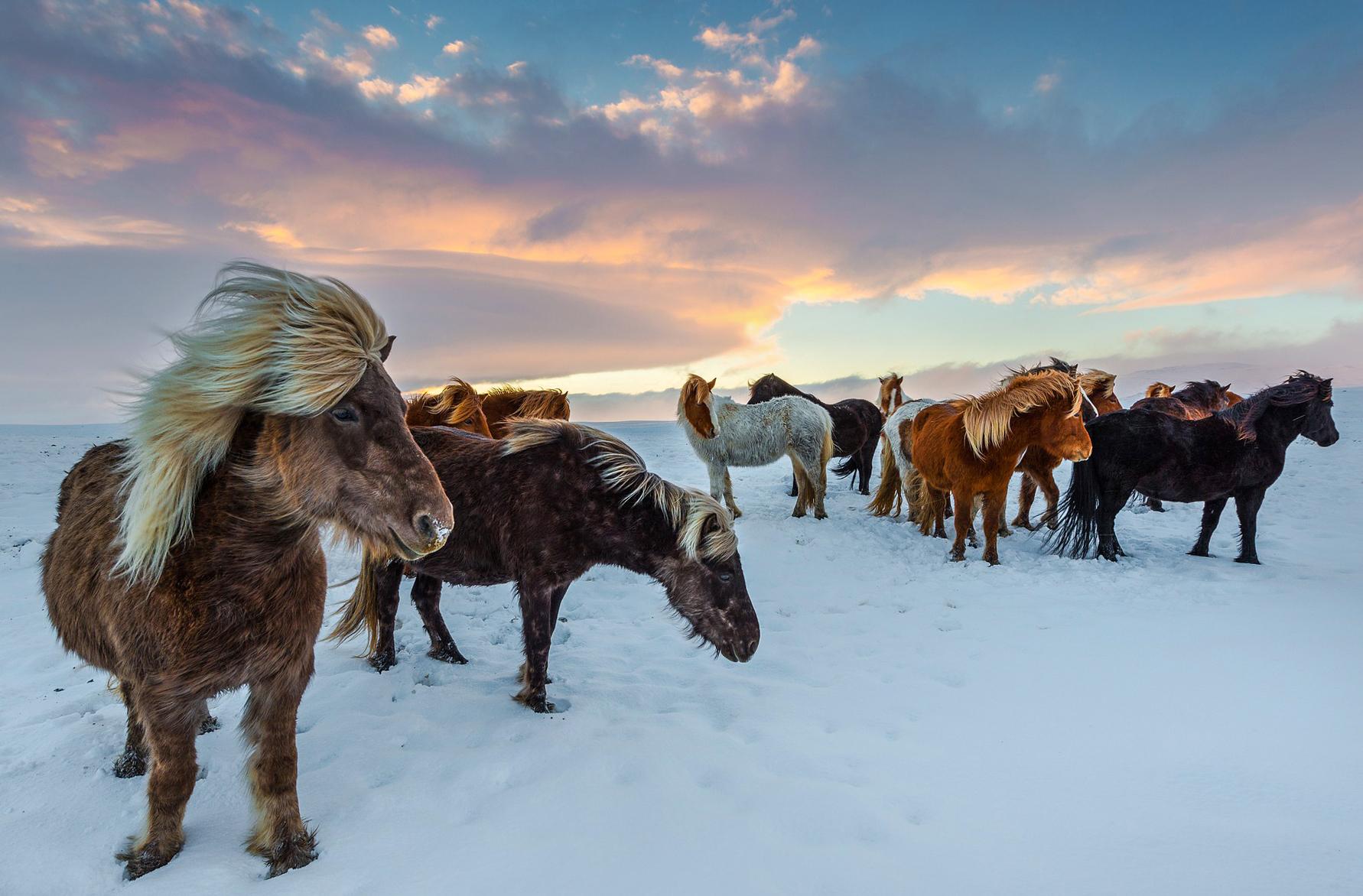 Horse Breed: Icelandic horse - photo by Susanne Stöckli on Pixabay - Globetrotting horse riding holidays