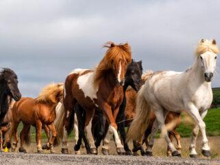 Horse Breed: Icelandic Horse - Globetrotting horse riding holidays
