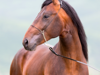 Horse Breed: Kabarda - photo by Alexia Khruscheva/Shutterstock.com - Globetrotting horse riding holidays