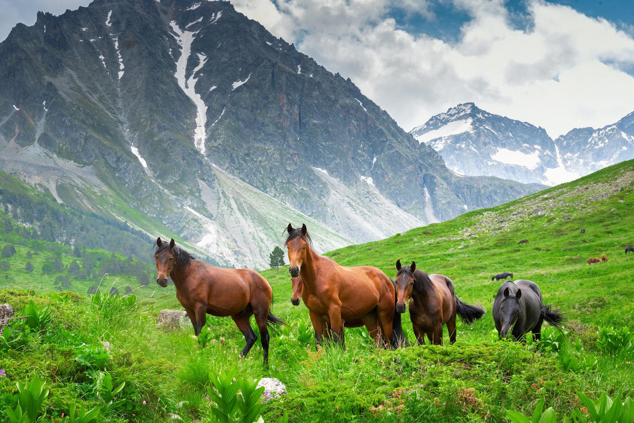 Horse Breed: Karachay - photo by Ambartsumian Valery/Shutterstock.com - Globetrotting horse riding holidays