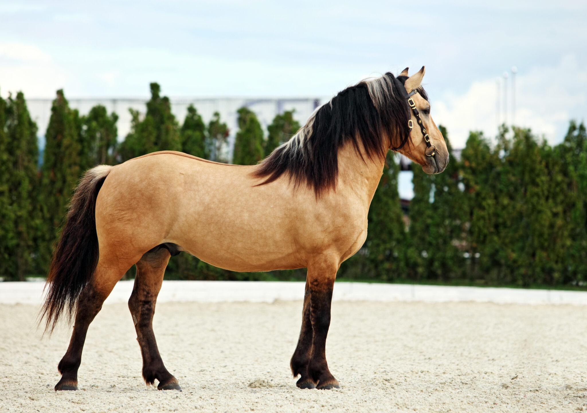 Horse Breed: Paso Fino - photo via horsemen/Shutterstock.com - Globetrotting horse riding holidays