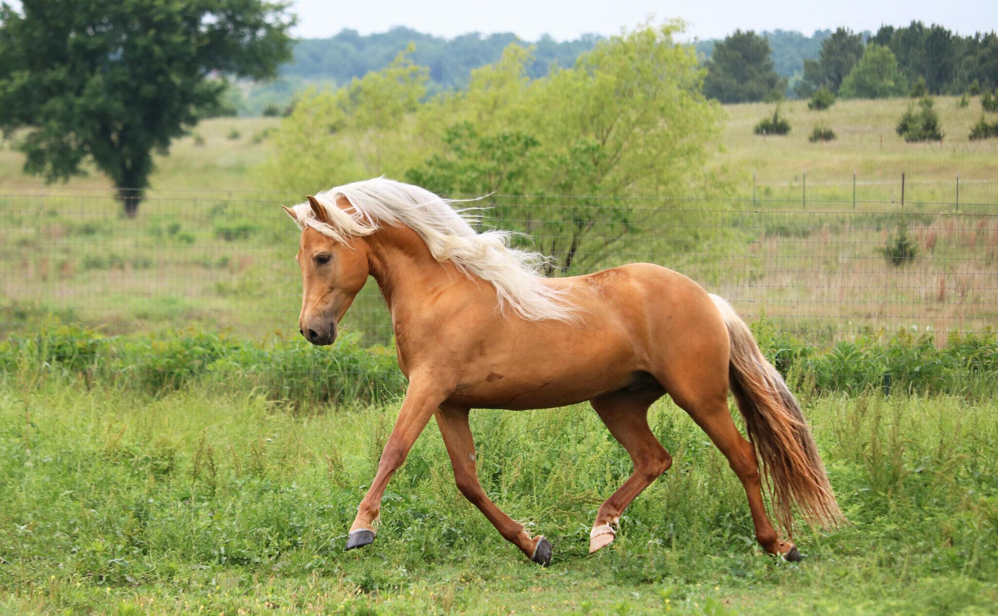 Horse Breed: Morgan - photo by Lisa Kolbenschlag/Shutterstock.com - Globetrotting horse riding holidays